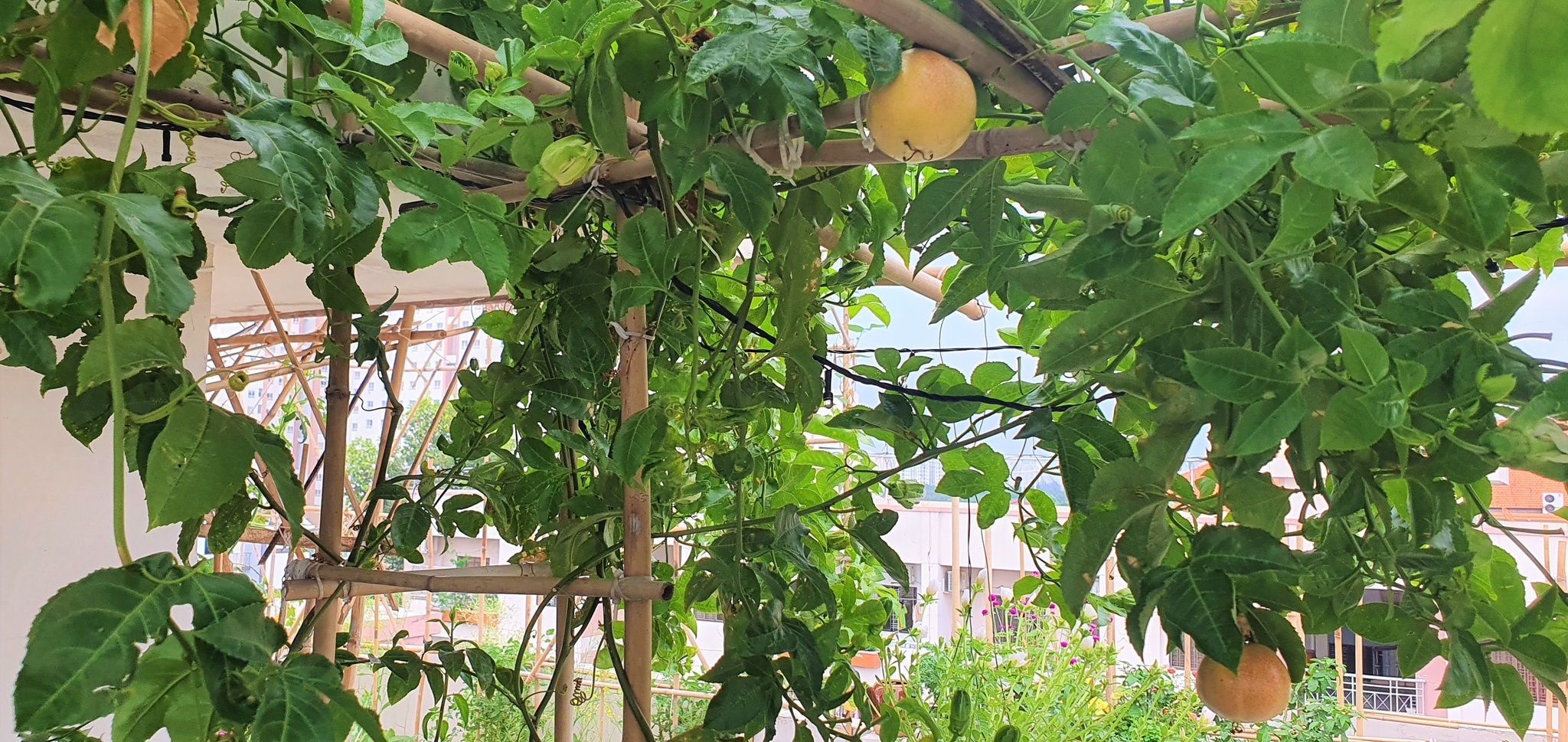 Teacher 8X created a beautiful and lush vegetable garden in the heart of Ho Chi Minh City by himself - photo 5