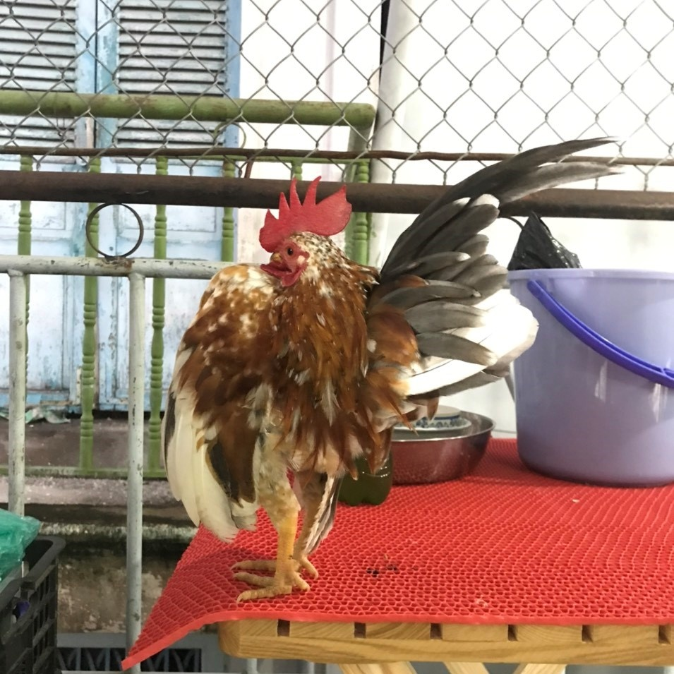 The 8X guy earns a lot from raising super tiny athlete chickens - photo 6