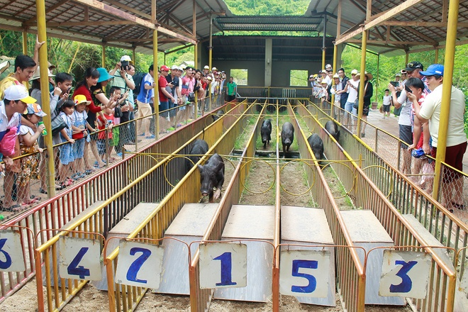 The Pig Competition always attracts tourists because of its curiosity and prize for the winner - Photo: Yang Bay
