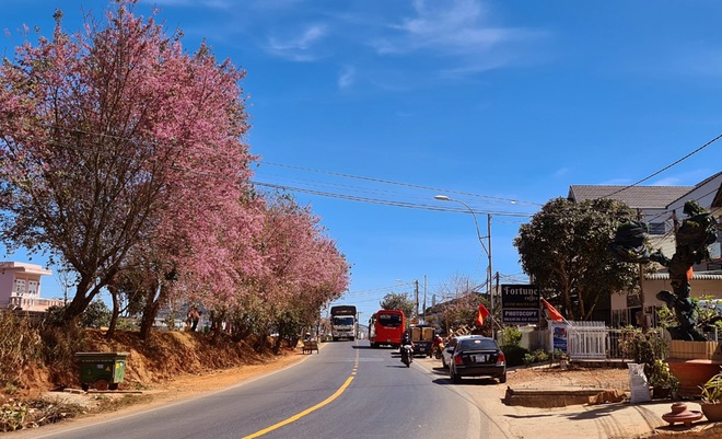 Da Lat has a brilliant cherry blush when Tet is coming - photo 1