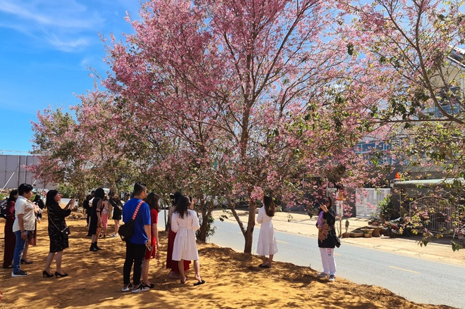 Da Lat has a brilliant cherry blush when Tet is coming - photo 9