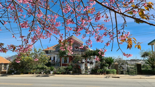 Cherry blossoms in Da Lat mountain town /// Lam Vien