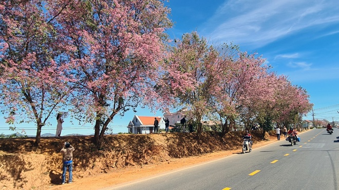Da Lat has a brilliant cherry blush when Tet is coming - photo 12