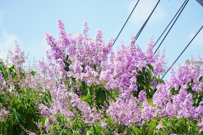 The road of more than 2 km is brilliantly purple with flowers in the mausoleum: Young people are 'mesmerized' - photo 2