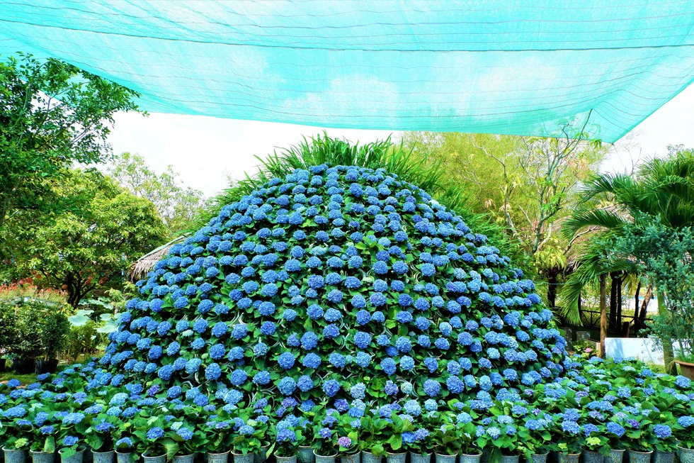 Admire the most 'huge' 14m diameter hydrangea bouquet in the West - photo 10