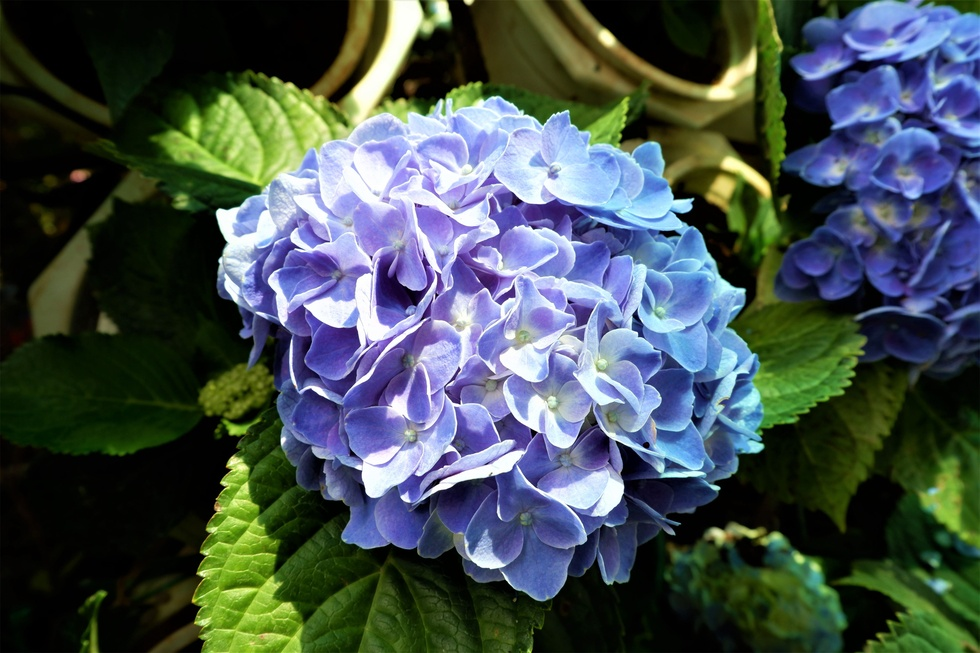 Admire the most 'huge' 14m diameter hydrangea bouquet in the West - photo 5